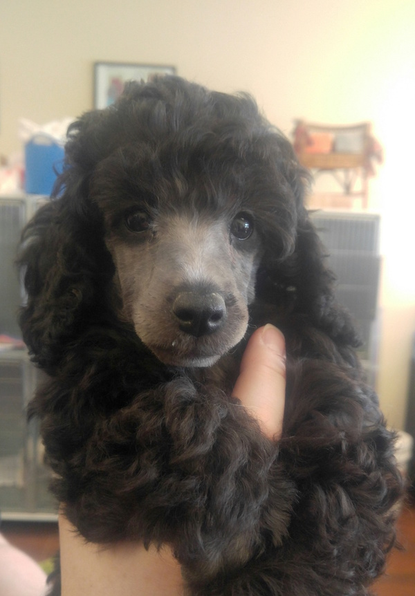Poodle and Norwich Terrier puppies for sale